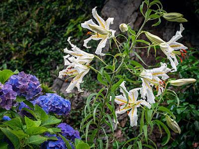 Yamayuri (Lilium auratum) flowers: Chojyu-ji