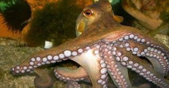 Знаете ли вы, как общаются осьминоги изоражения