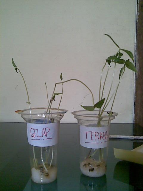 Pelajar Alay Contoh Laporan Penelitian Biologi Pengaruh Cahaya Terhadap Pertumbuhan Tanaman Kacang Hijau