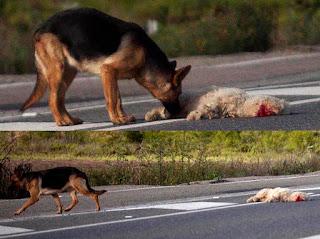 Afirman algunas religiones que los animales son inferiores a nosotros porque no tienen alma.  Sin embargo, viendo al pastor alemán intentando  reanimar a su amigo me pregunto: ¿No seremos  nosotros los desalmados?¿No prueban estas  carreteras que somos nosotros los que hemos perdido nuestra alma?