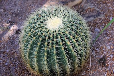 gambar kaktus golden barrel