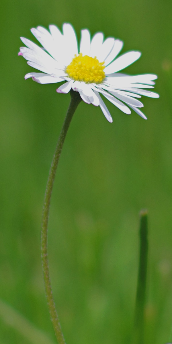 #006 Minolta Rokkor f1.4 50mm – Verträumtes Gänseblümlein