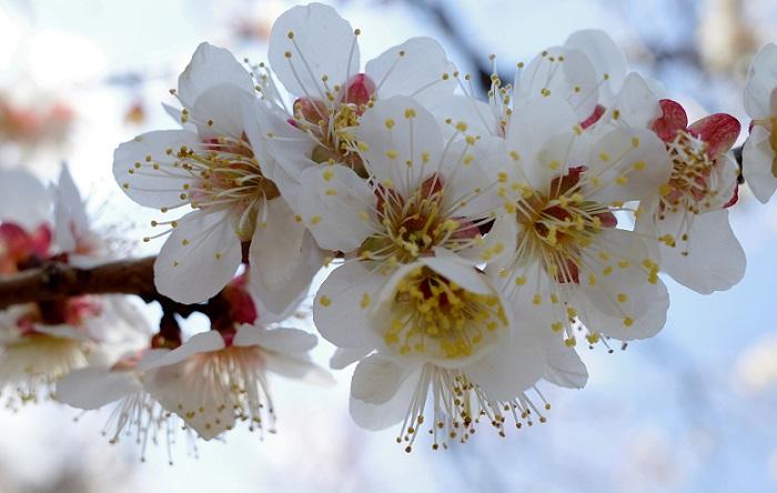 賑やかに咲く梅の花