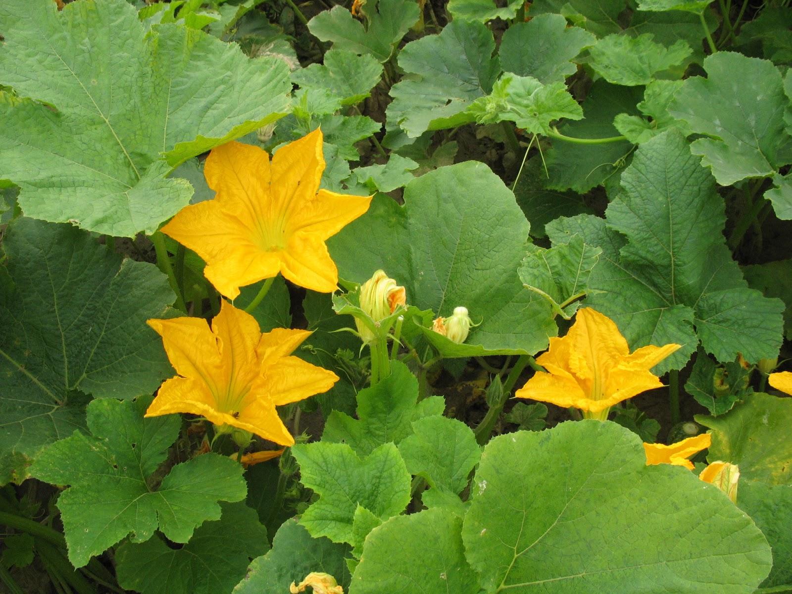 pumpkin garden tips