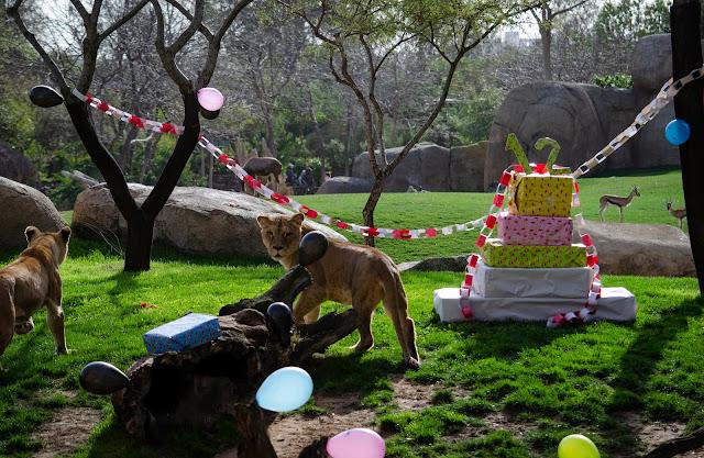 12 Aniversario Febrero 2020 - BIOPARC Valencia - leonas