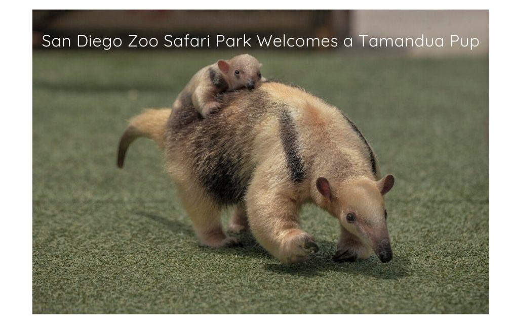 San Diego Zoo Safari Park Welcomes a Tamandua Pup