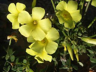 Flores amarillas de la vinagrera (Oxalis pes caprae)