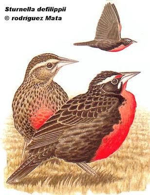Pampas Meadowlark
