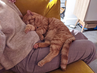 Ginger cat asleep on a human's lap