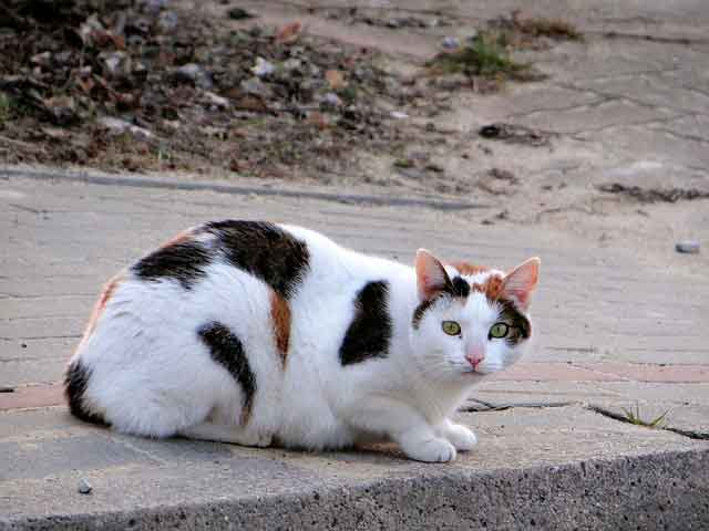 3 Contoh Teks Deskripsi Tentang Kucing Dalam Bahasa Inggris Dan