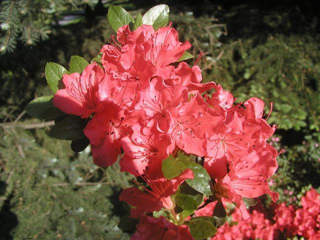 Цветок имени Алла – красивоцветущая азалия