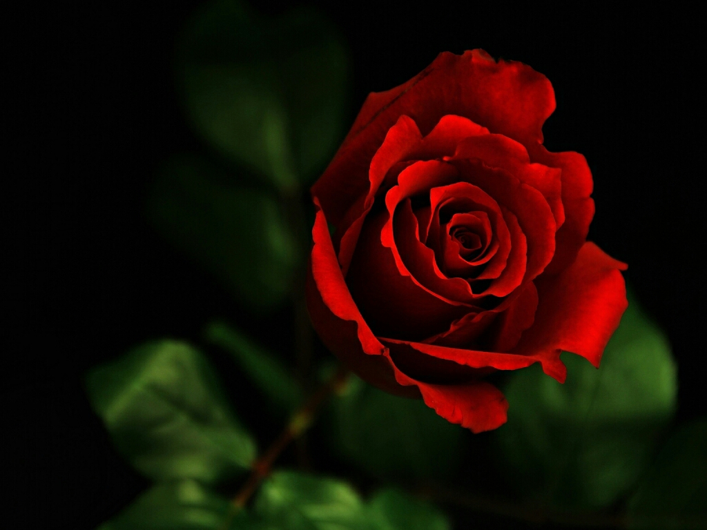 Flowers for flower lovers flowers wallpapers red roses - Black and red rose wallpaper ...