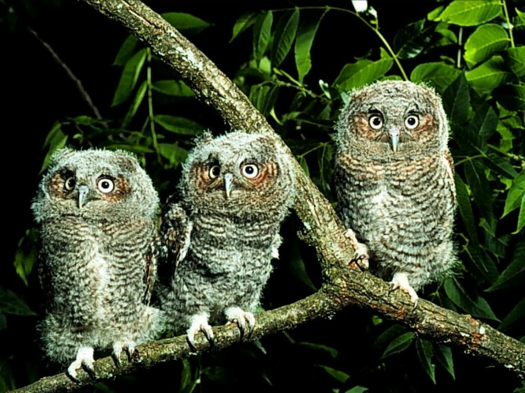 Owl Wallpapers | Animal Literature