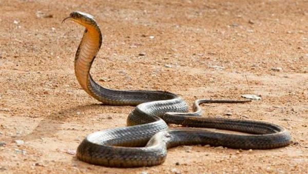 Biker runs over snake in Uttar Pradesh, faces tough chase, News, Local-News, Natives, Snake, National