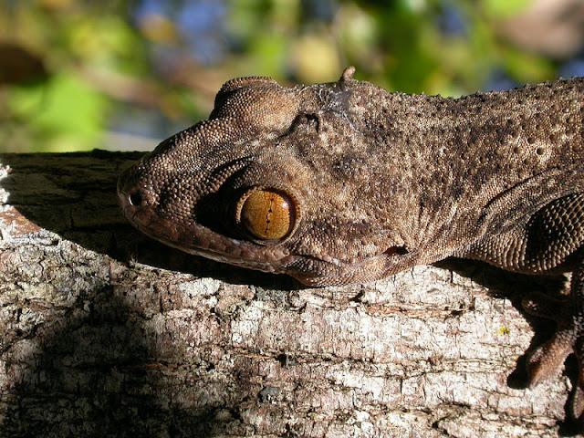 Blaesodactylus boivini