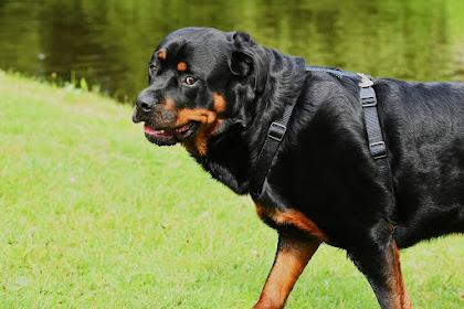 معلومات عن كلب الروت وايلرRottweiler