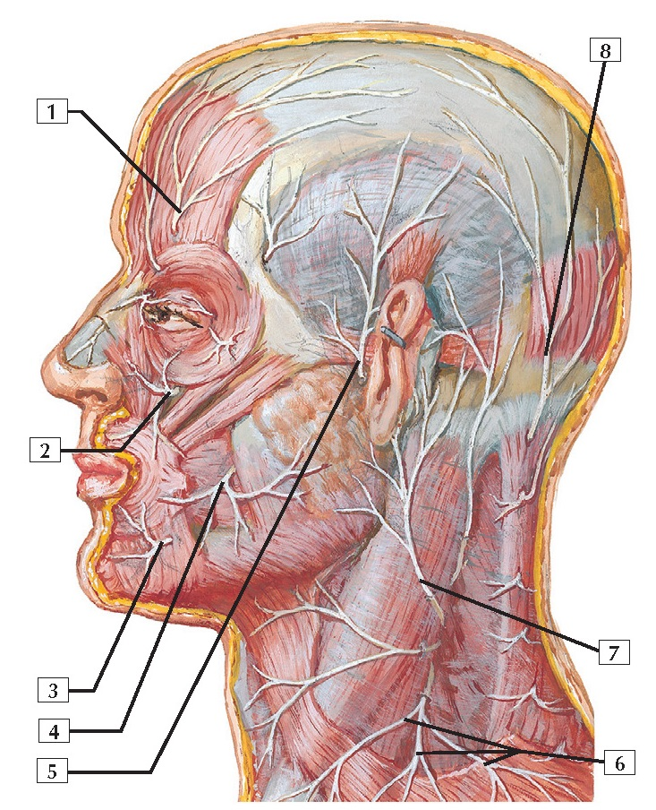 Cutaneous Nerves of Head and Neck Anatomy