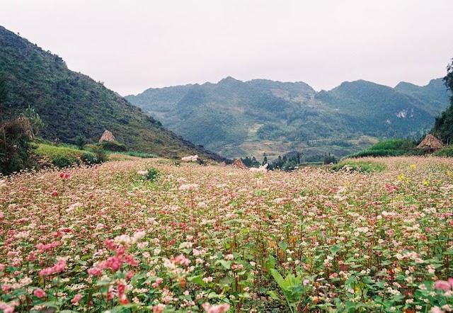 7 check-in places in Ha Giang buckwheat flower season