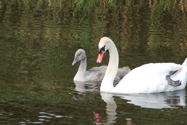 Swans River Shannon