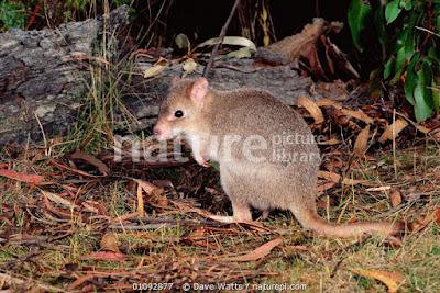 Betong de Tasmania (Bettongia gaimardi)