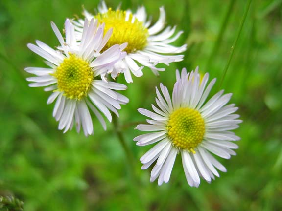 Mound our weeds pretty pinkish white daisy type flowers is it the bane of fleas i hope ill never know mightylinksfo Choice Image