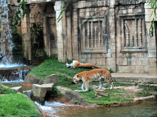 The Memphis Zoo Review - Tigers in Cat Country Photo by Cynthia Sylvestermouse