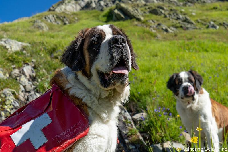 St. Bernard Dogs Things to Do Martigny Switzerland