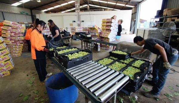 review pekerja indonesia sebagai tukang kebun petik buah anggur di australia
