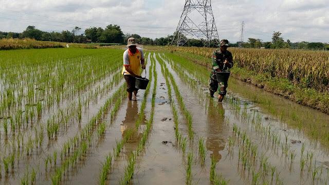 Tingkatkan Produksi Padi Babinsa Koramil 23/Ceper Dampingi Petani Dalam Pemupukan