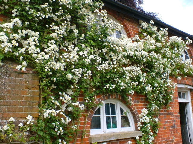 Tips on growing White Rambling Roses Kiftsgate, Bobbie James, Wedding Day, Rambling Rector