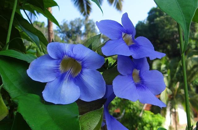 blue trumpet vine