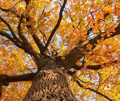 A view looking up into a magnificent yellow-leafed tree.