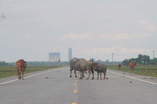Ít được sử dụng, đường thành nơi trâu bò đi lại, phóng uế bừa bãi