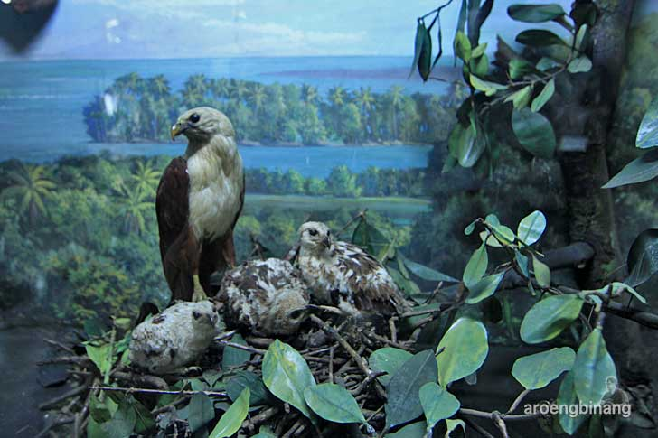 elang museum zoologi bogor