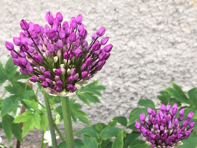Lilla Allium