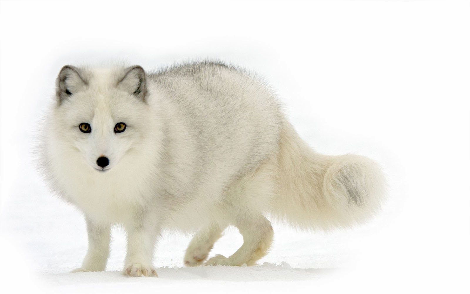 Wallpapers Polar Fox Wallpapers