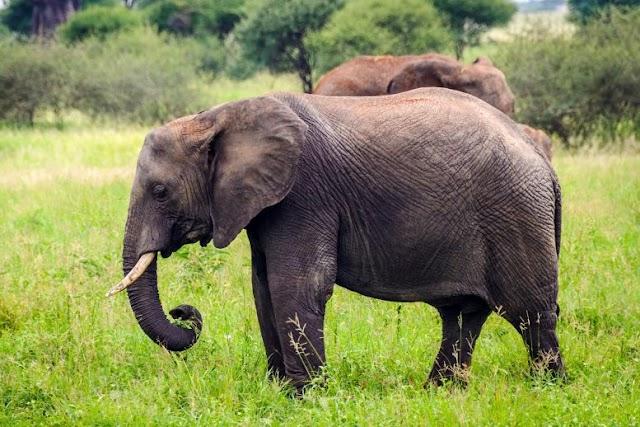 Μοναδικές και συναισθηματικές οι αλληλεπιδράσεις των ελεφάντων με τους νεκρούς τους