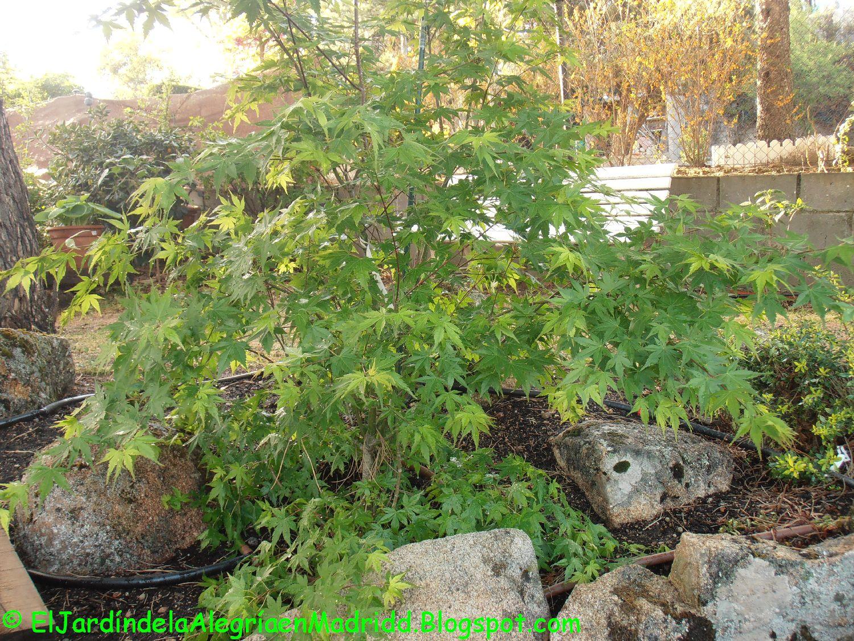 El jard n de la alegr a acer palmatum empieza estupendo for Como quitar la mala hierba del jardin
