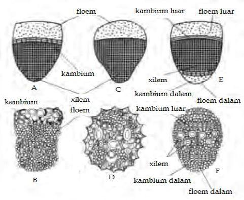 Gambar 7. Komponen penyusun xilem dan floem - Sumber: www. acitrapratiwi.com