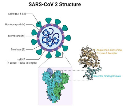 Breakdown of the SARS-CoV-2 structure