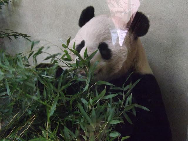 A panda with bamboo