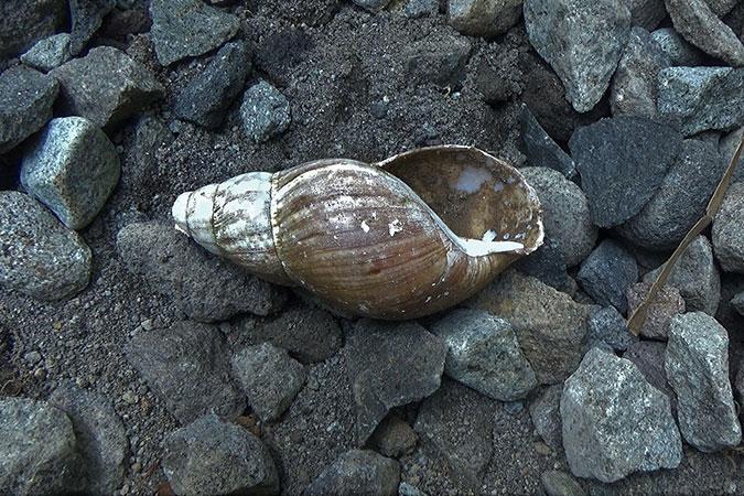 Dlium African giant snail (Lissachatina fulica)
