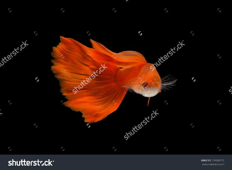 Gambar Jenis Ikan Guppy Import - Ikan Guppy Import Albino Full Red ( Super Red ) / AFR
