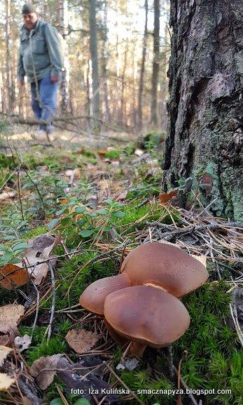 trojaczki, zrosniete grzyby, grzybobranie, jesien, na grzyby, podgrzybek brunatny