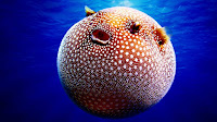 Puffer fish pictures_Tetraodontidae