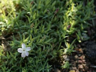 Oeillet de Corse - Dianthus corsicus - Dianthus caryophyllus