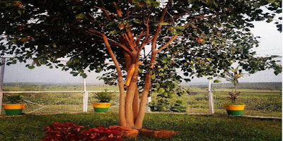 इस पेड़ को सरकार ने दिया है वीवीआईपी पेड़ का दर्जा , बॉडीगार्ड भी लगे हुए हैं।