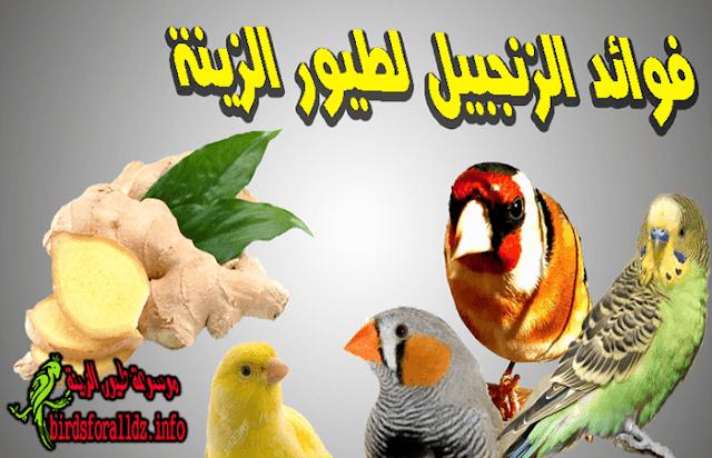 فوائد الزنجبيل لطيور الزينة