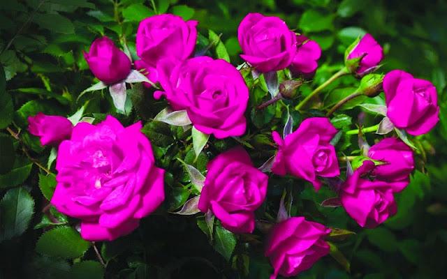 bó hoa hồng tím đẹp nhất thế giới 4