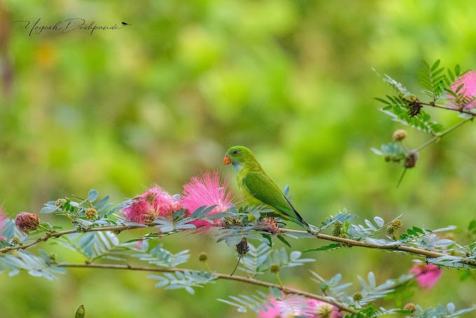 The Vernal Hanging Parrot at South Goa, Bhondla bird sanctuary
